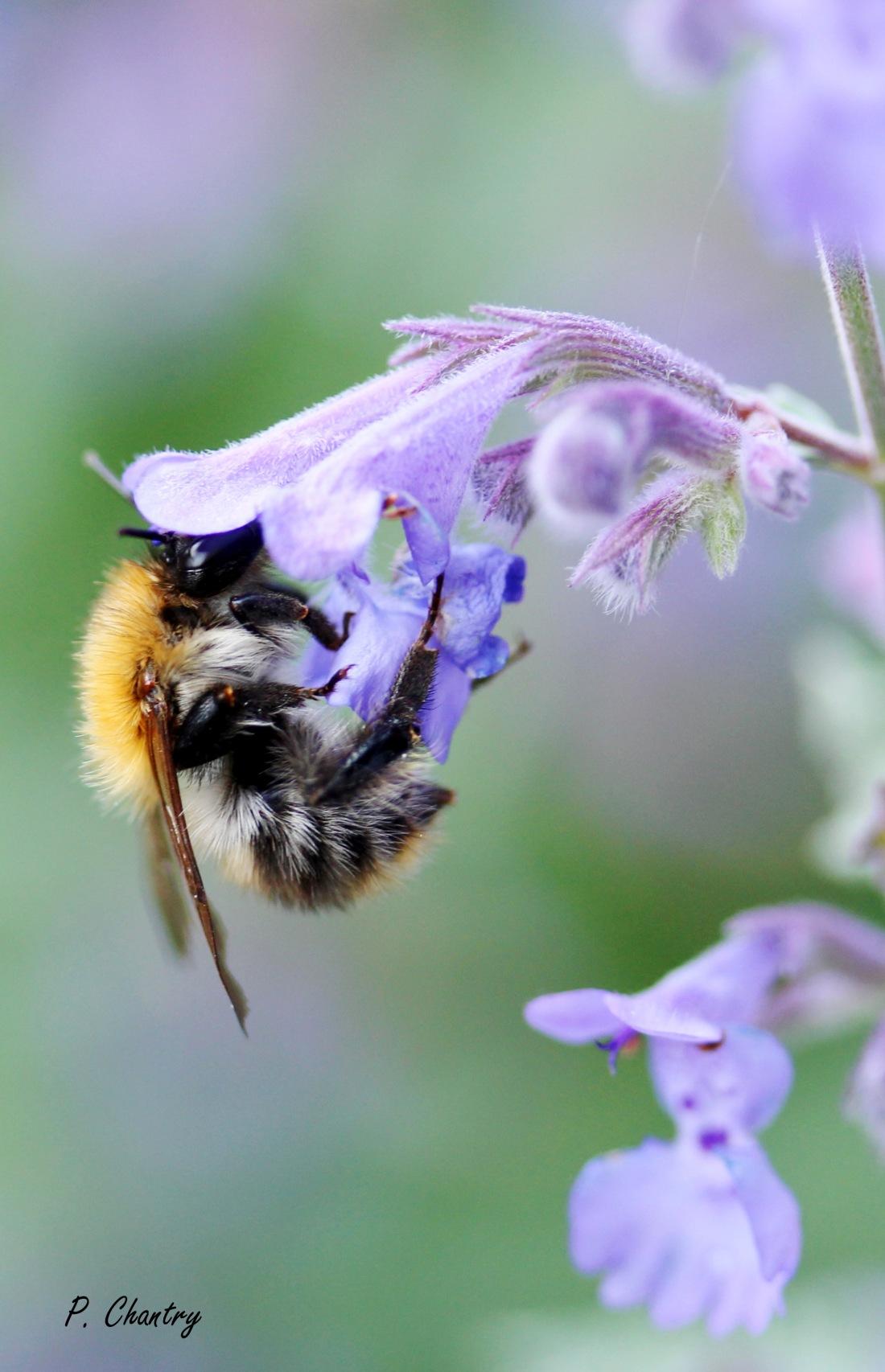 Bourdon sur fleur de Nepeta ( Obigies - B. - 26/5/2018 )