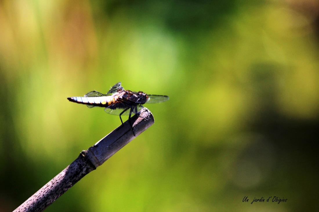 Libellule déprimée ( Un jardin d' Obigies - B. - 25/5/2017 )