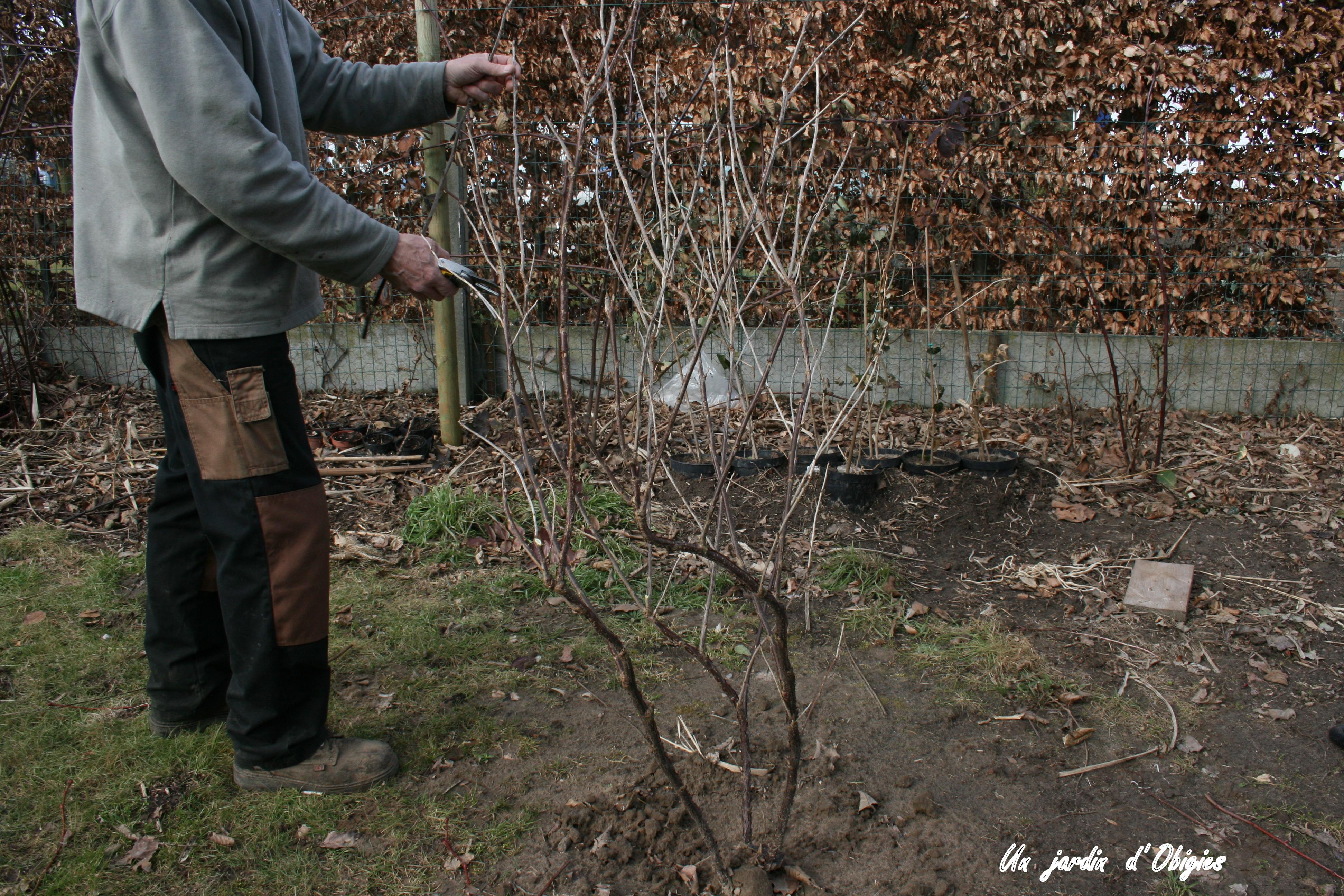 Taille d' un groseillier dans un jardin d' Obigies