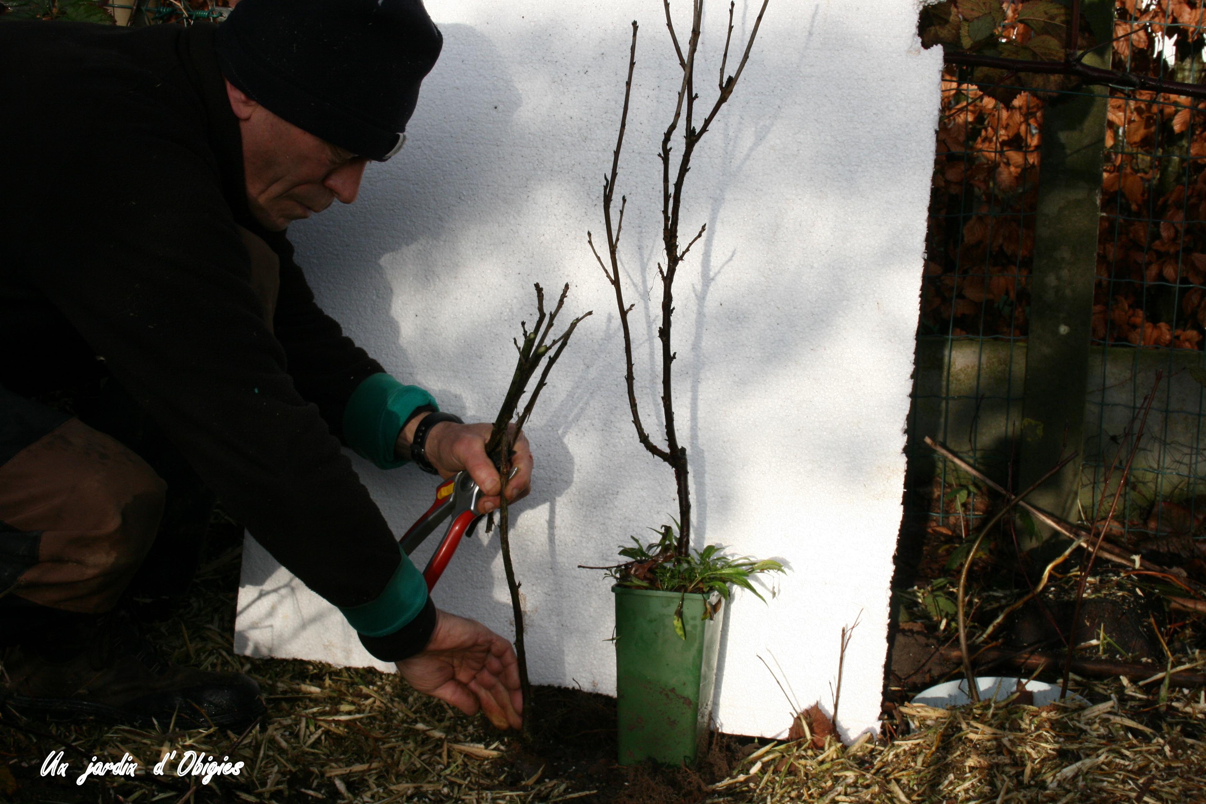 Bouturage d' une jeune branche de groseillier dans un jardin d' Obigies