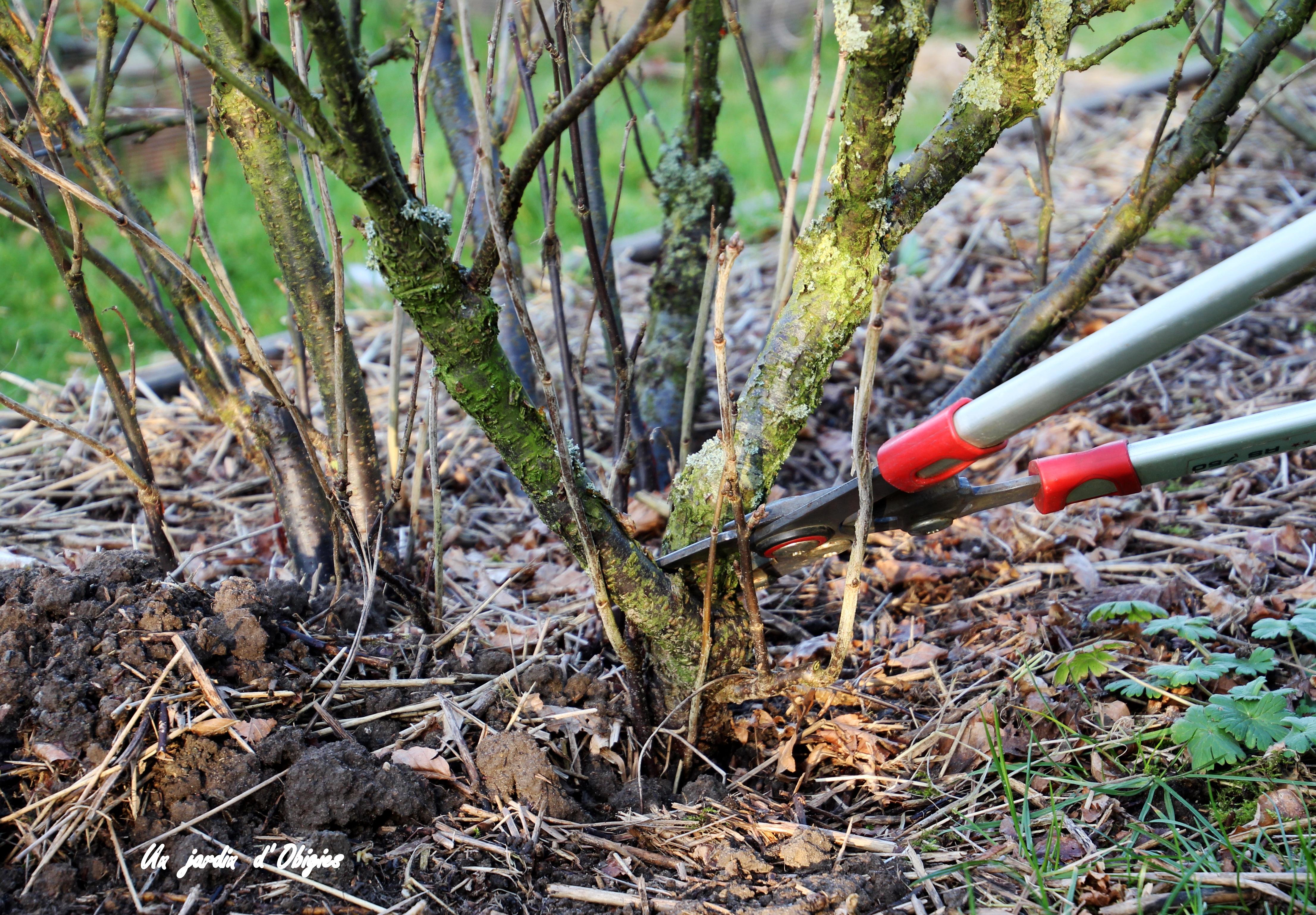 Taille du groseillier ( Un jardin d' Obigies - B. - 13/02/2019 )
