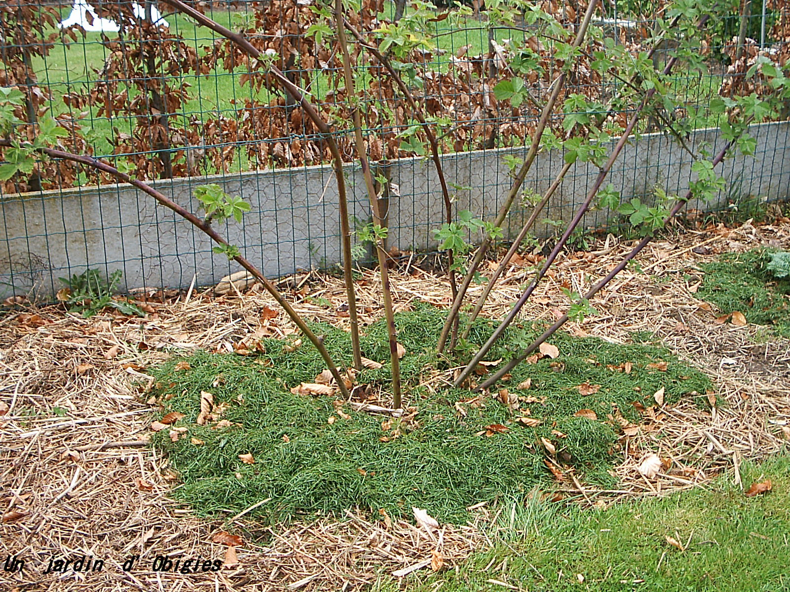 Mûrier - Ronce sans épine - Rubus fructicosa au jardin d' Obigies
