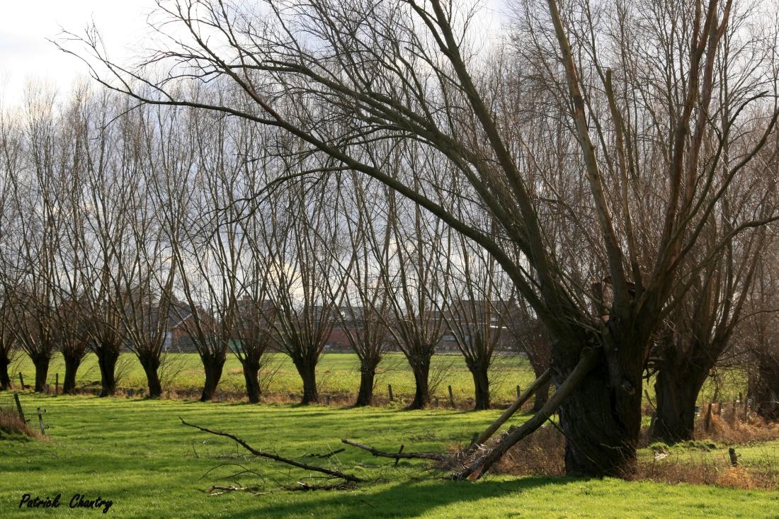 Saules têtards à St Léger ( B. )