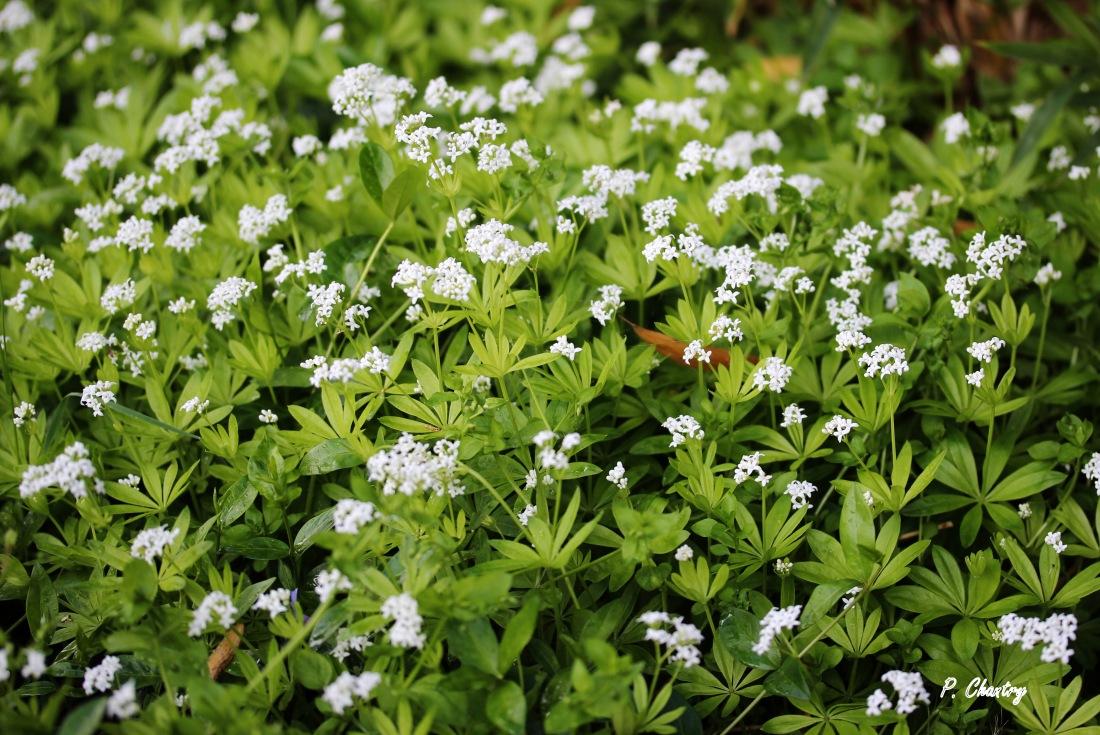 Aspérule odorante - Galium odoratum ( Un jardin d' Obigies - B. - 4/5/2019 )