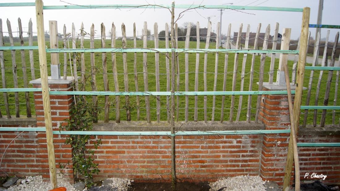 Charme fastigié palissé - Carpus betulus Fastigiata à Havinnes