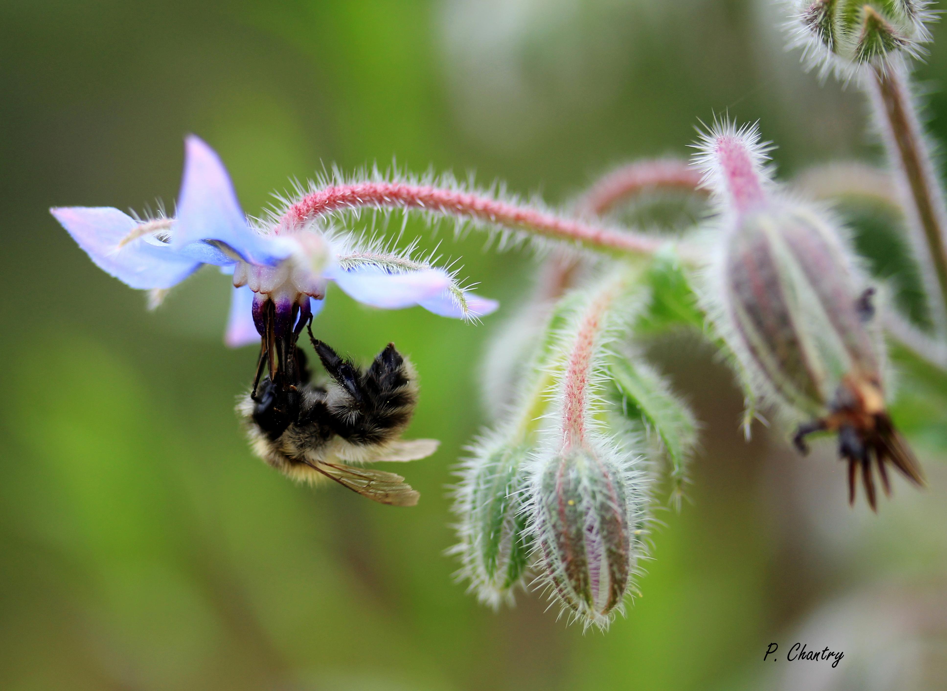 Bordon sur fleur de bourrache ( Un jardin d' Obigies - B. - 15/8/2018 )