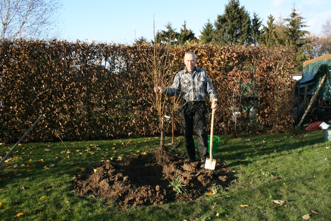 Plantation d'un arbre fruitier basse-tige au jardin d'Obigies
