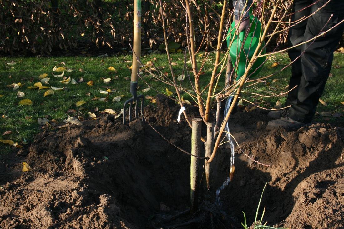 Arrosage des racines dans le trou de plantation au jardin d'Obigies