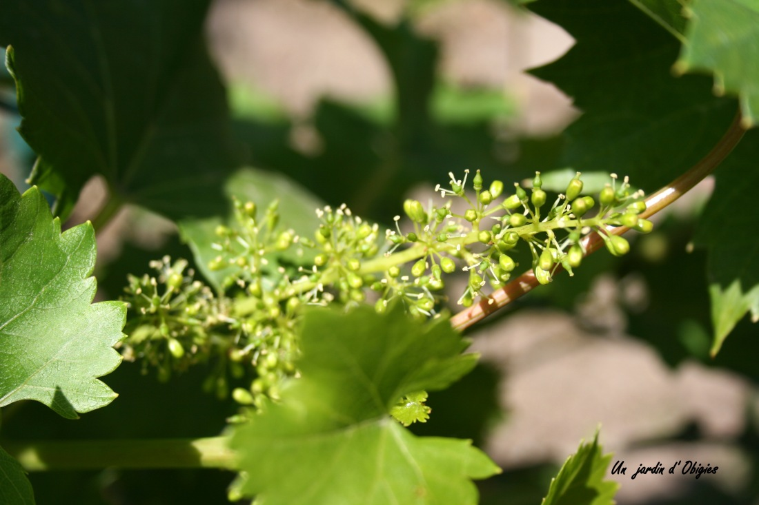 Vigne en fleur ( Un jardin d' Obigies - B. - 2/6/2011 )
