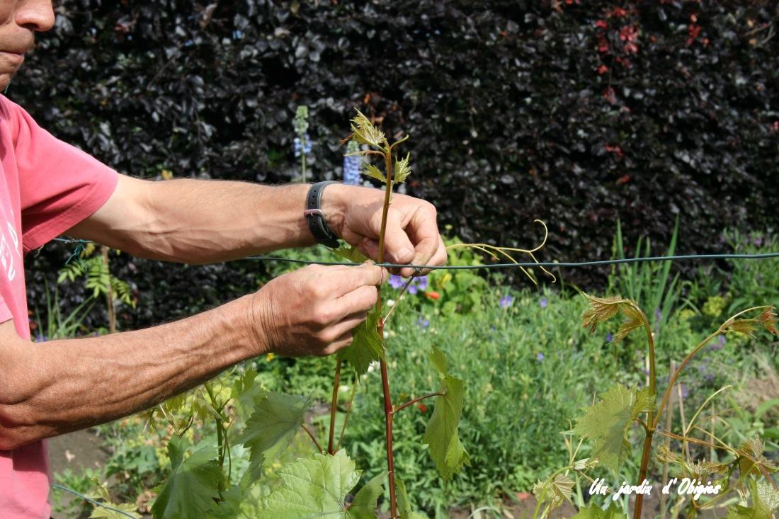 Palissage de la vigne à Obigies