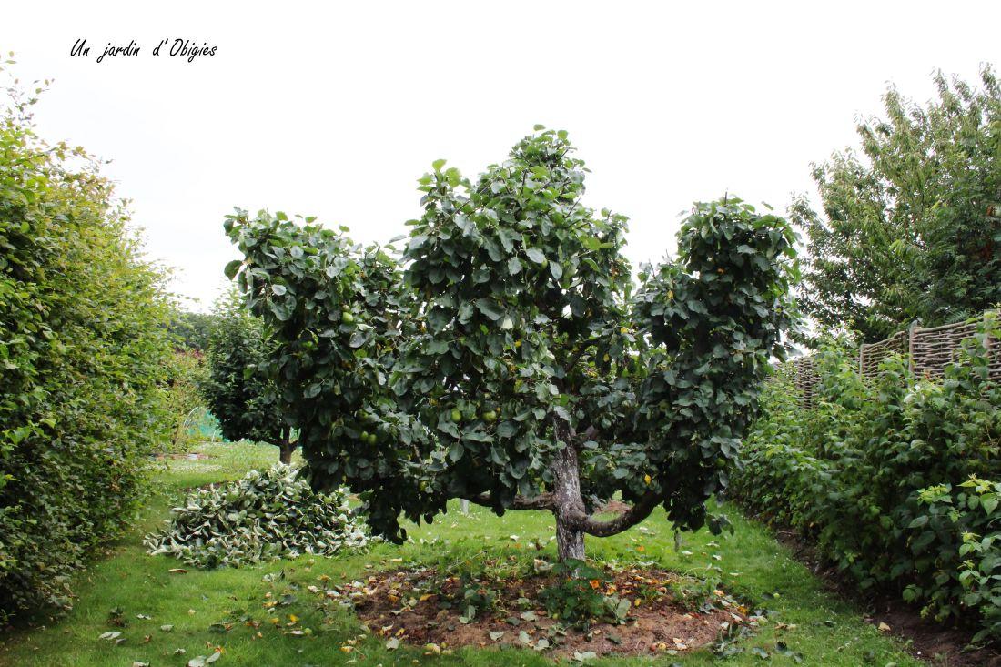 """Taille en vert d' un pommier """" Belle de Boskoop """" au jardin d' Obigies"""