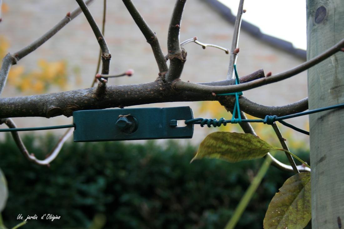 Détail d'un tendeur pour le palissage d'un tilleul au jardin d'Obigies