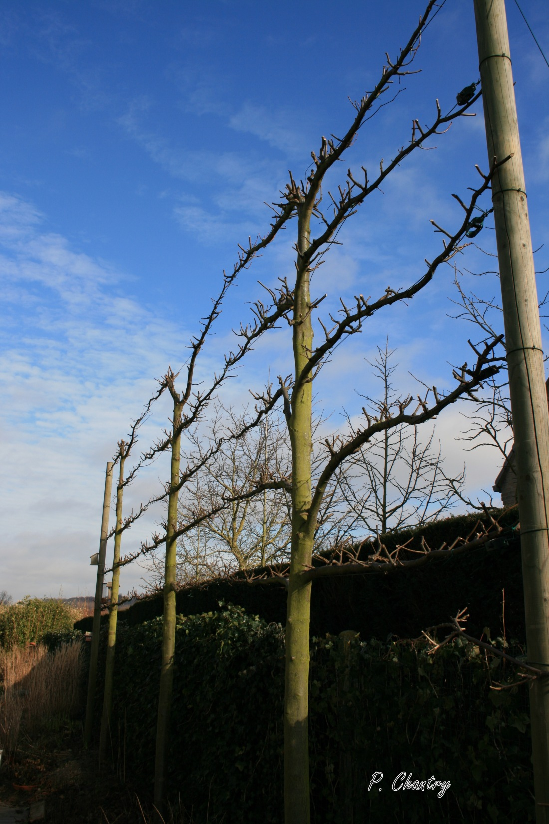 Tilleuls  palissés au jardin d'Obigies ( B. - 24/2/2012 )
