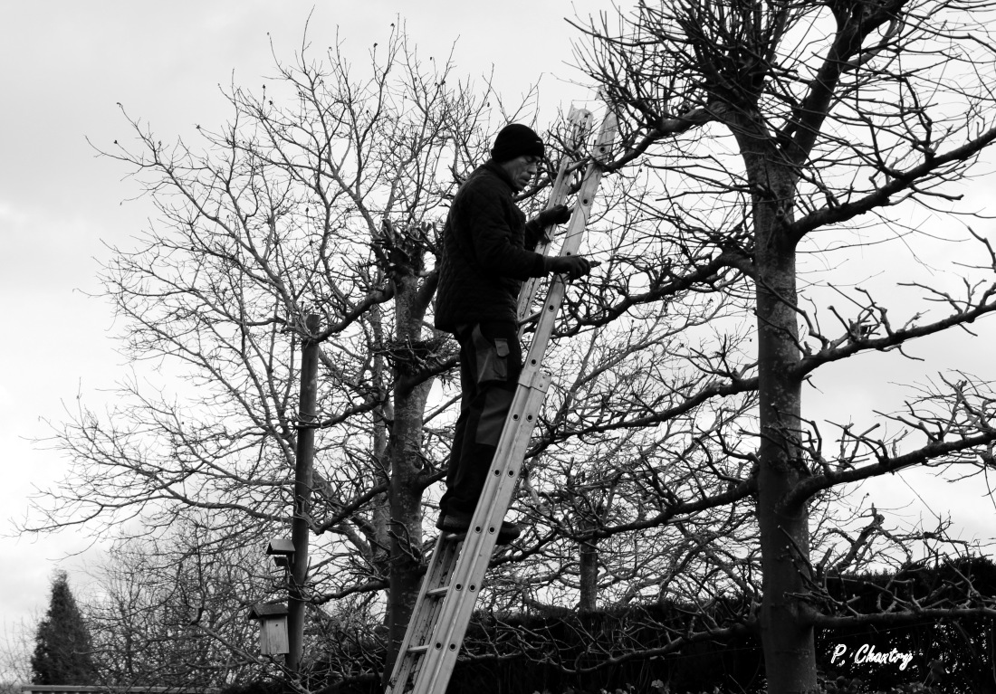 Taille des tilleuls palissés ( Un jardin d' Obigies - B. - 18/12/2018 )