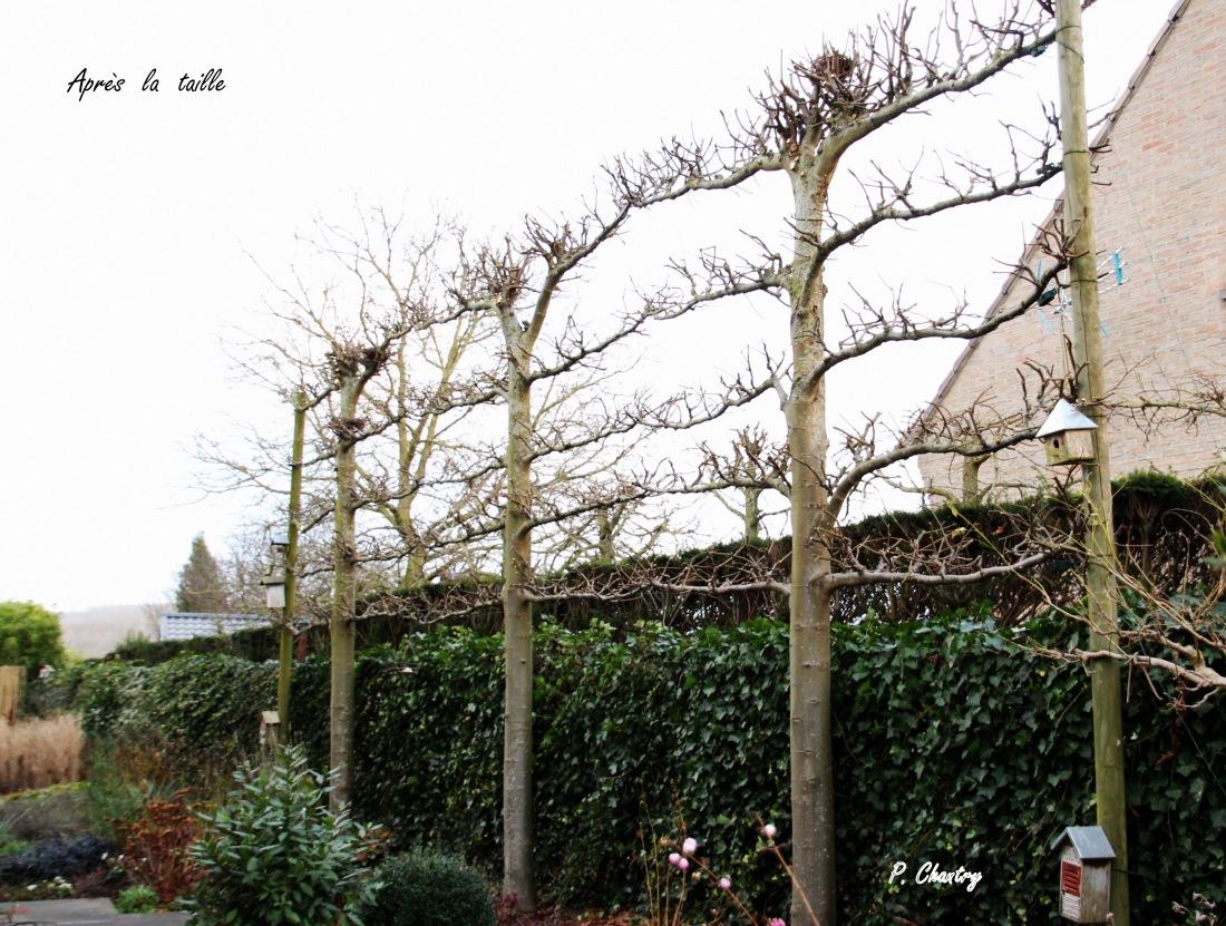 Tilleuls palissés ( Un jardin d' Obigies - B. - 21/12/2018 )